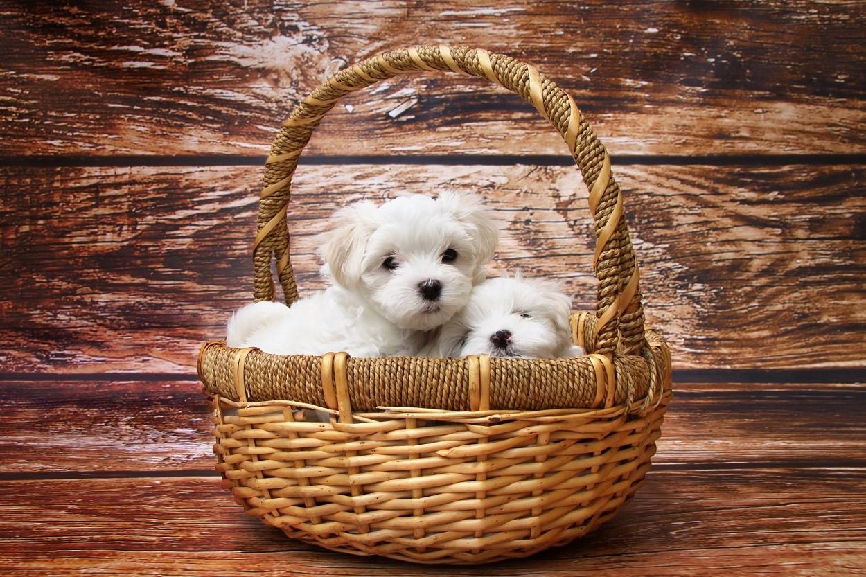 Microchip cani: cucciolata