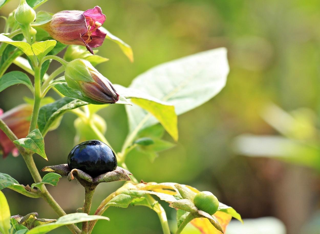Piante velenose per gatti: Atropa belladonna