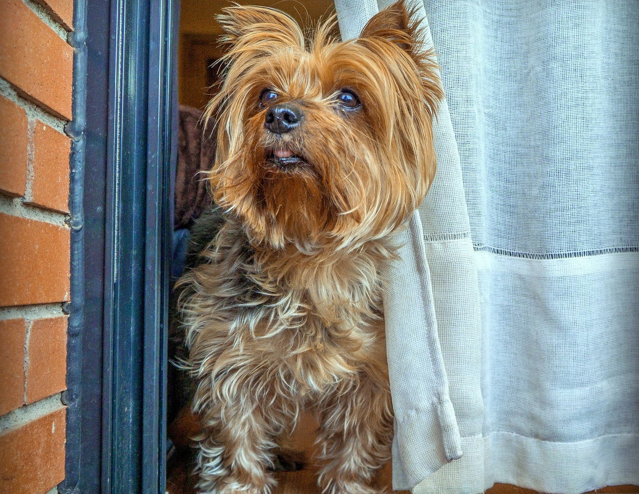 Yorkshire terrier in ansia