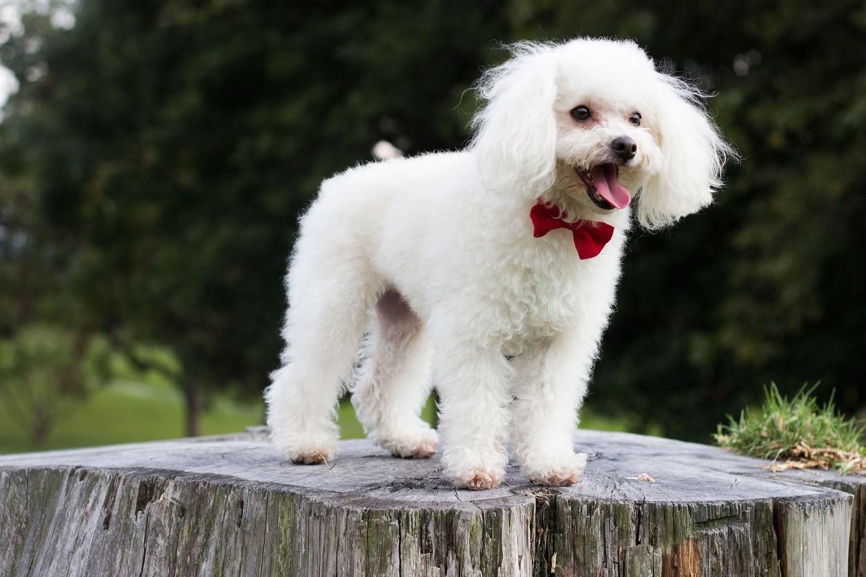Come pulire le orecchie al cane: Barboncino