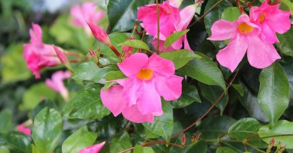 Dipladenia rosa