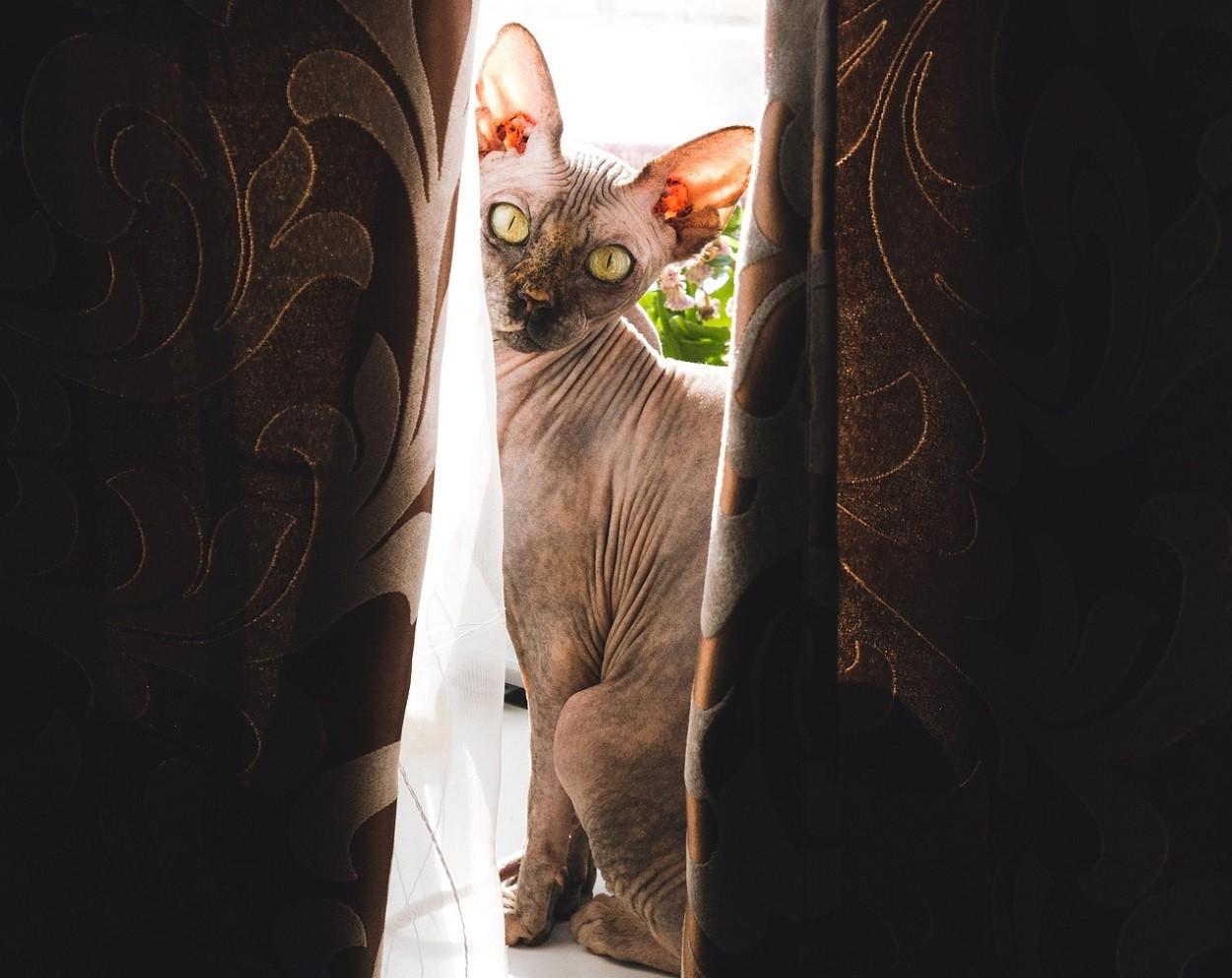 Gatti senza peli: Sphinx