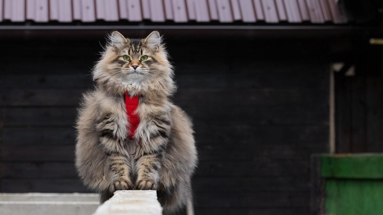 Gatto Siberiano peso