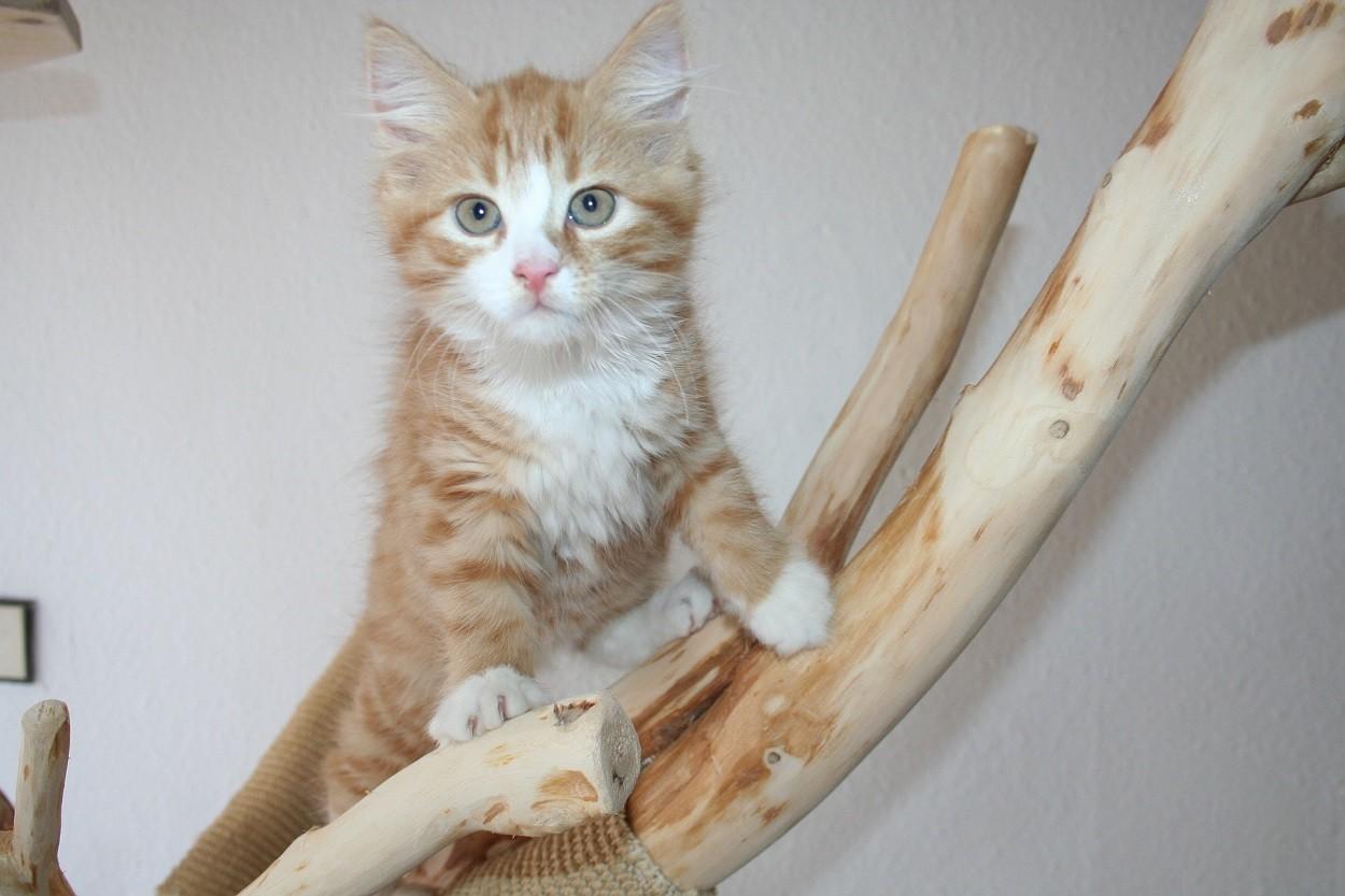 Gattini Maine Coon rossi