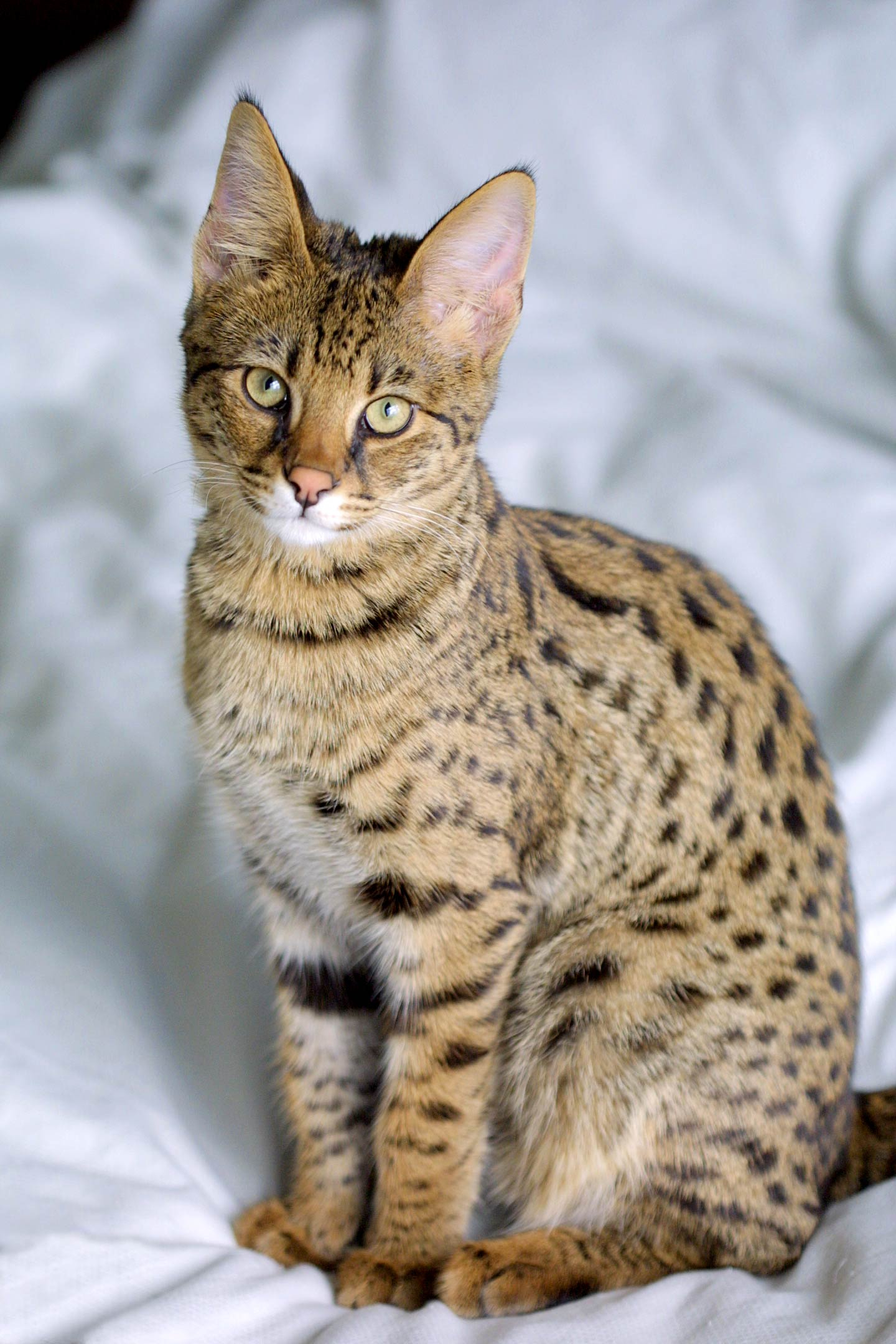 gattino Savannah