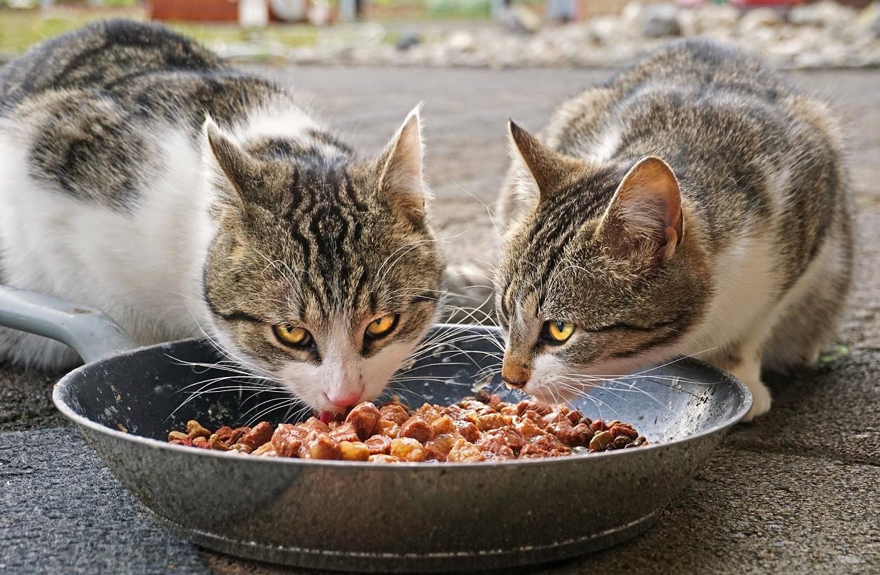 gatto mangia