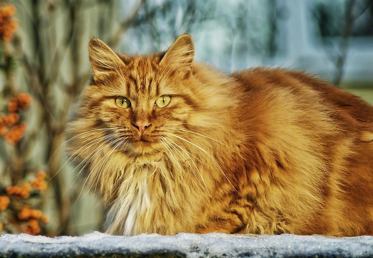 Gatto Norvegese rosso
