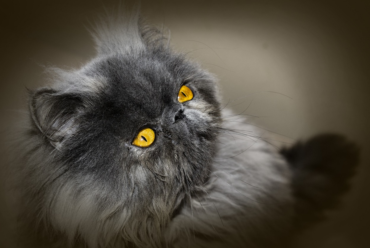 Gato persa gris azulado