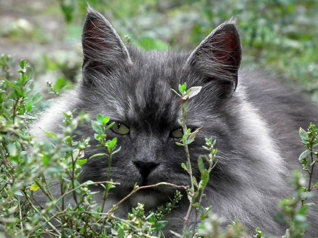Gatto Siberiano: colori