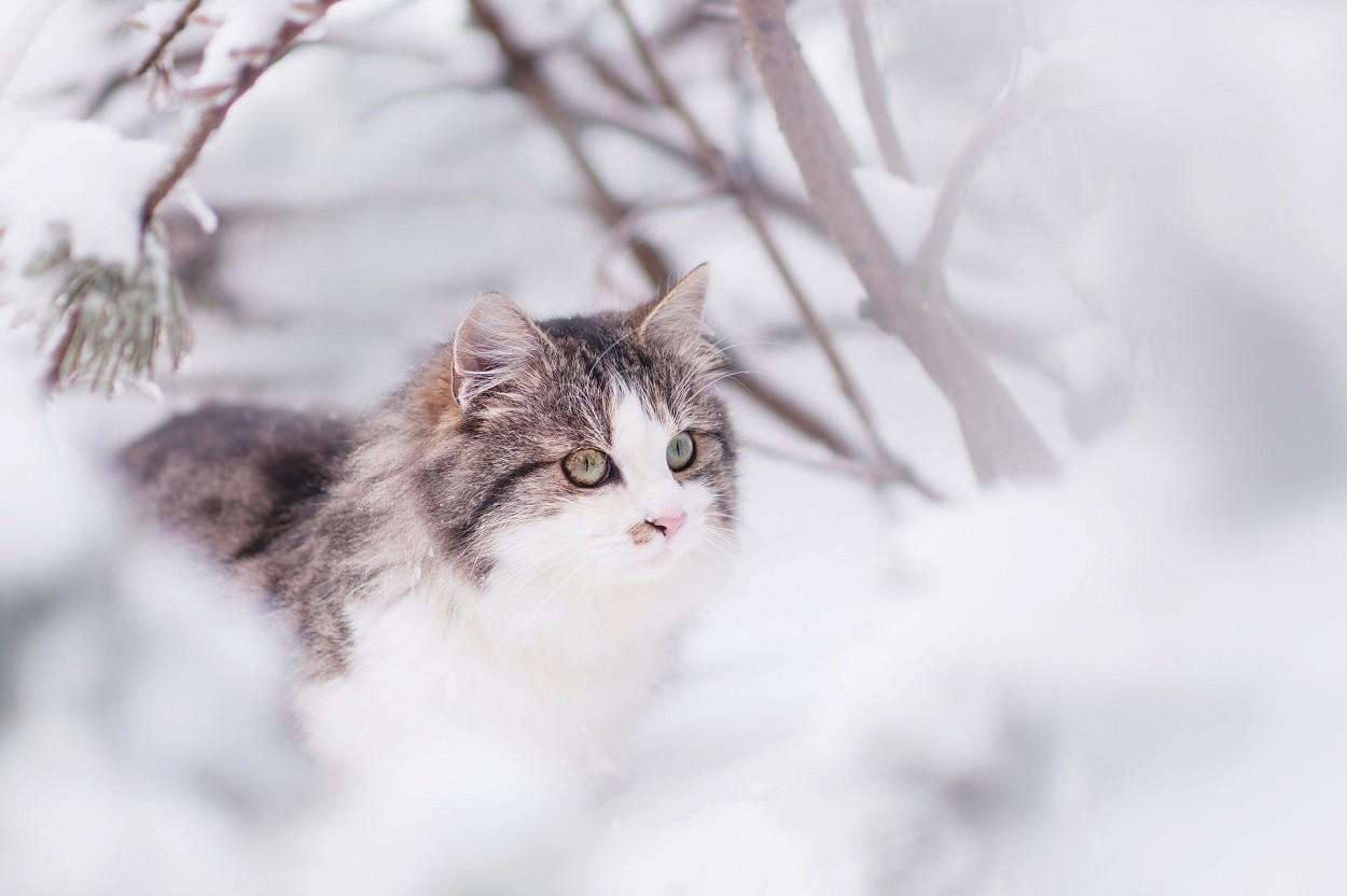 Gatto Siberiano: neve