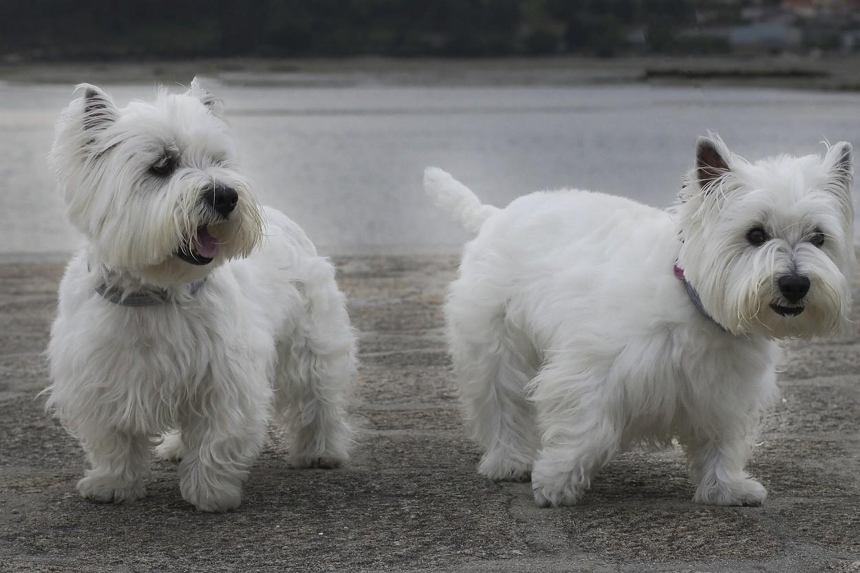 Cani piccola taglia West Highland White Terrier