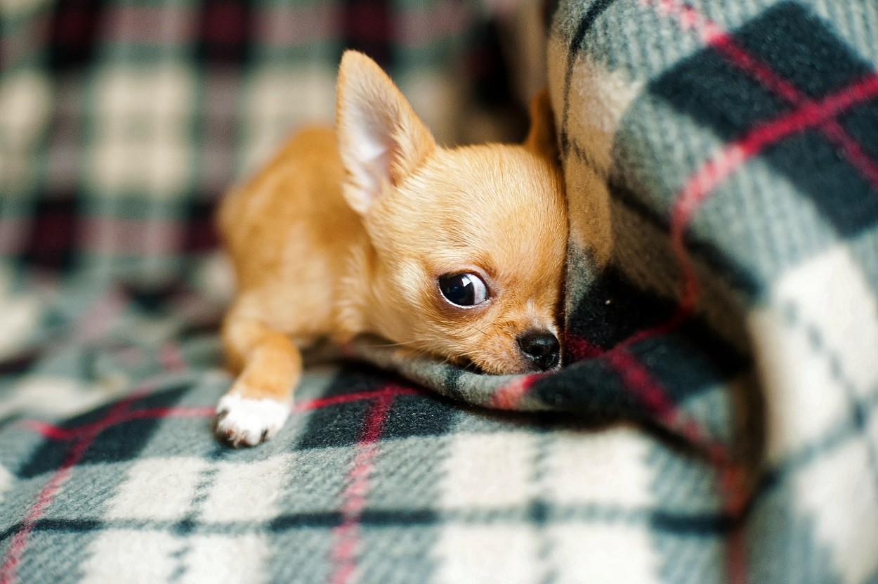 Cane da appartamento: Chihuahua