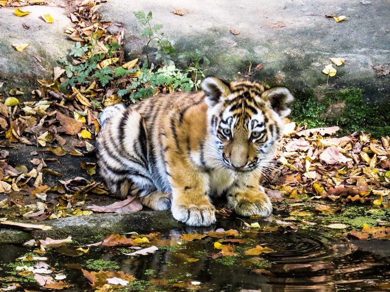 Cuccioli tigri
