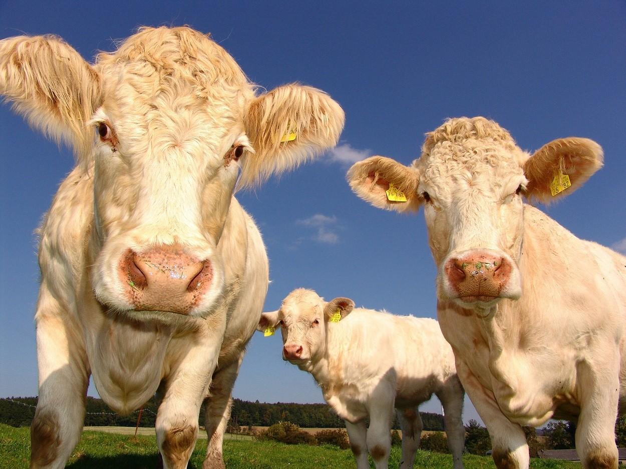 Fattoria didattica: mucche
