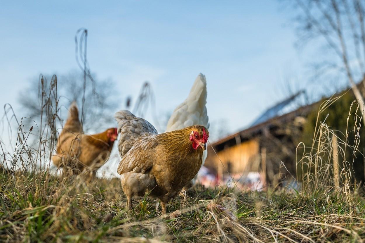 Granjas educativas: gallinas