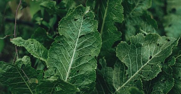 Rafano, foglie