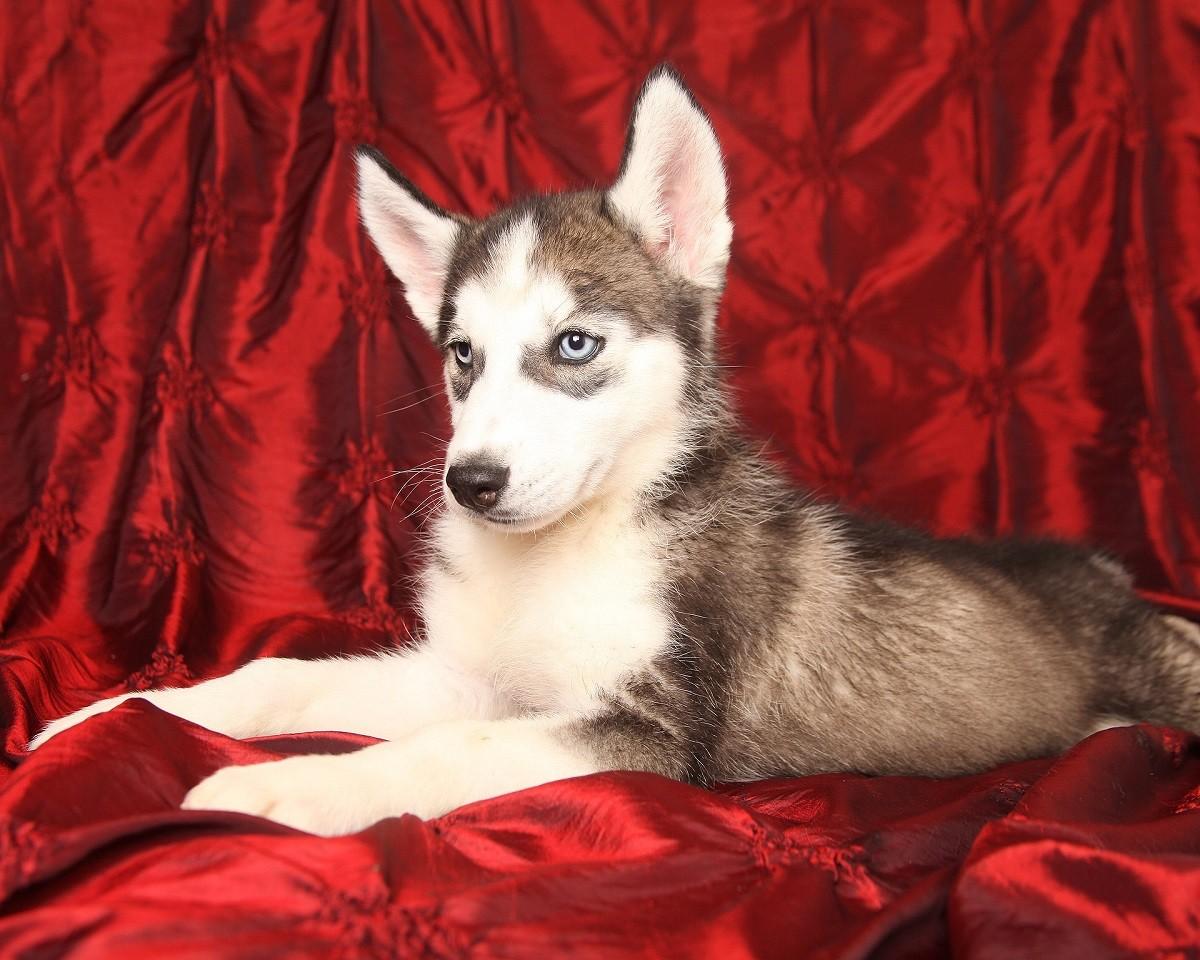 Siberian cucciolo