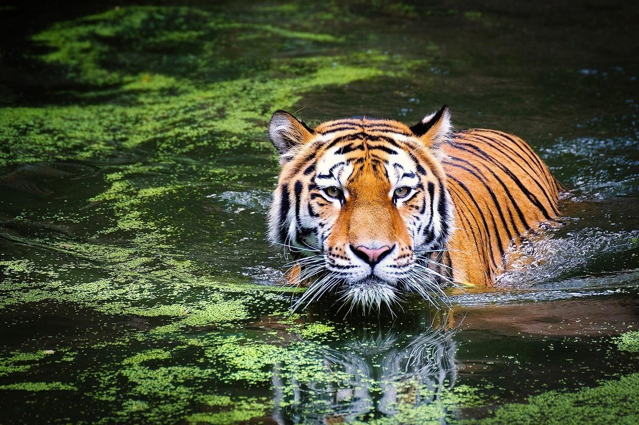 Tigre che nuota