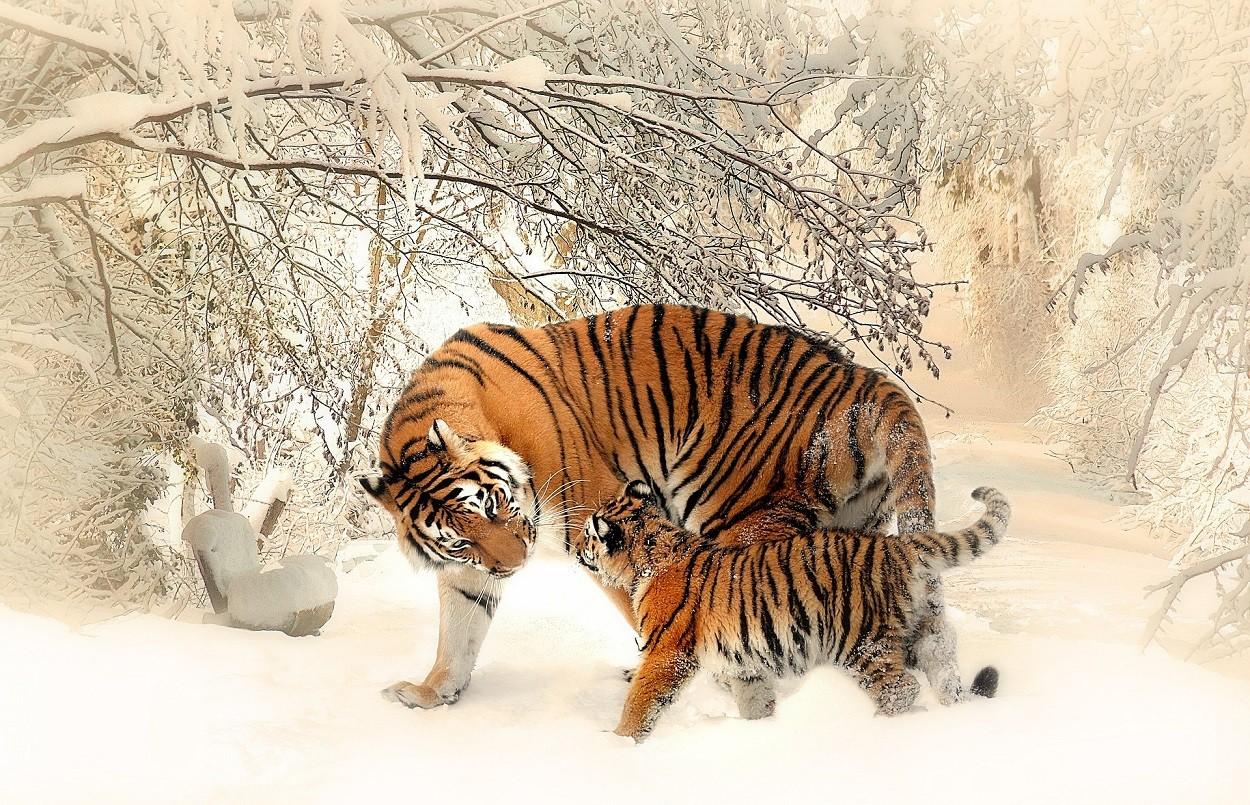 Tigri con cucciolo
