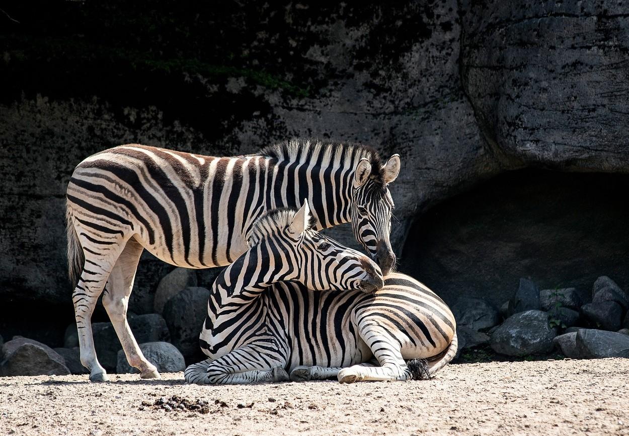 Zebra, grooming