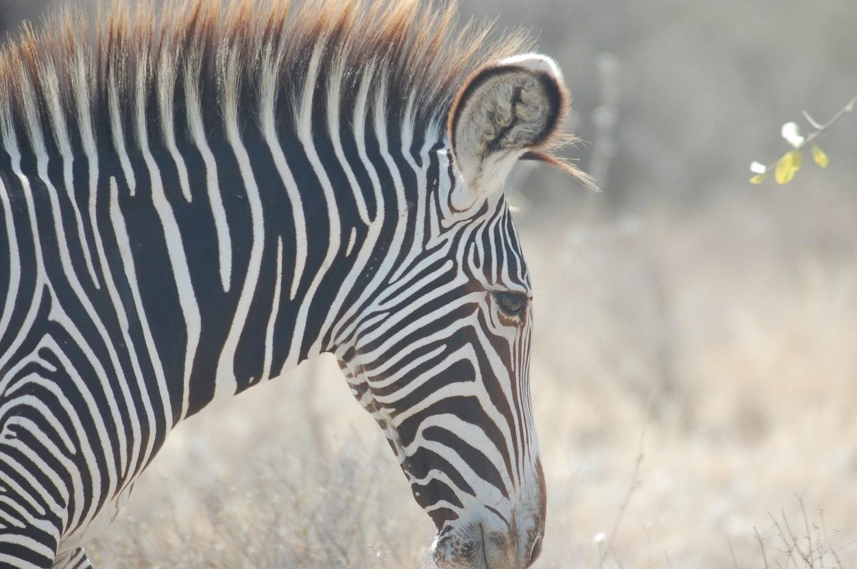 Zebre imperiali