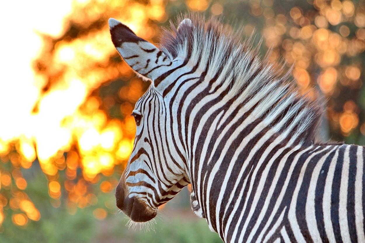 Zebra hartmann