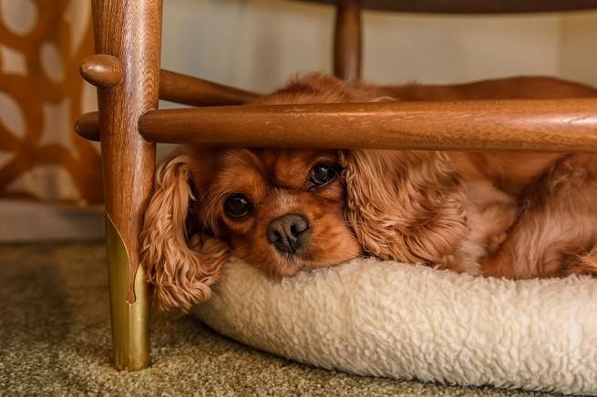 Cheratocongiuntivite secca nel cane: sintomi - Petsblog