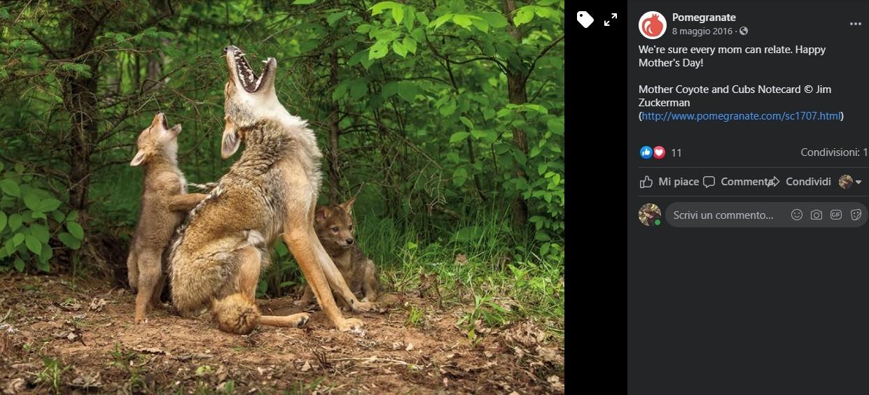 Mamma coyote ulula