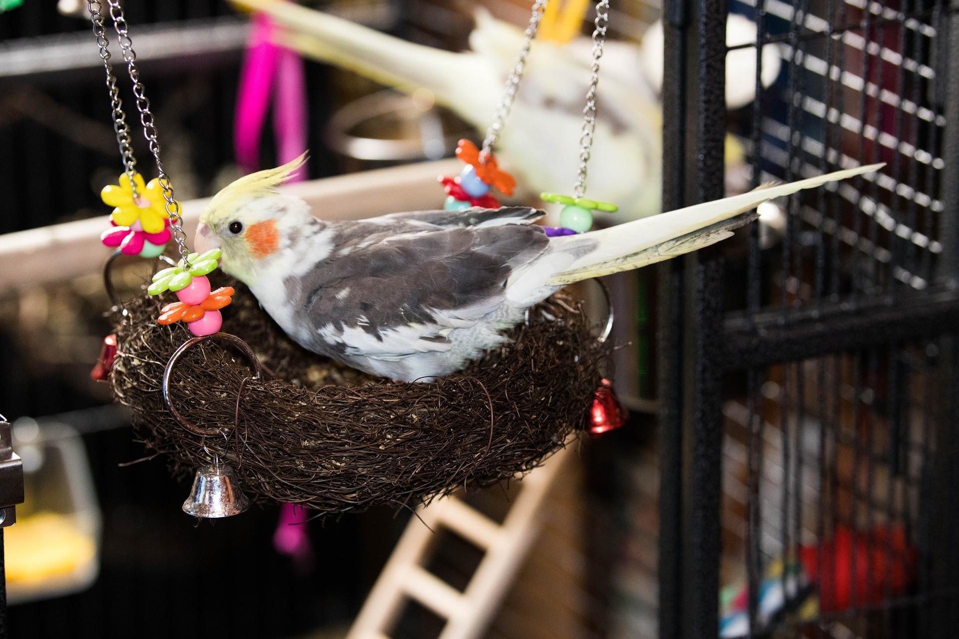 pappagallo calopsite